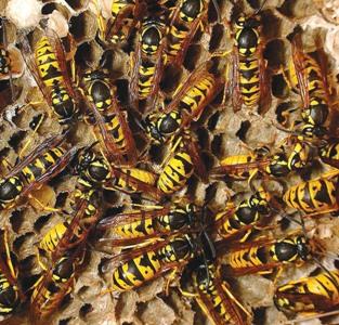 European Wasps in Nest