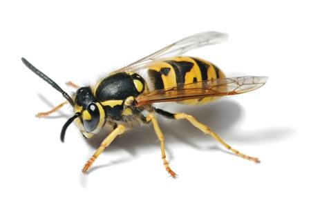 European Wasp Body